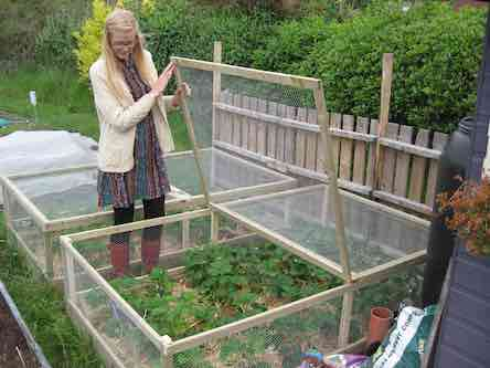 Woman growing strawberries in a covered net box