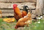 chicken eating pumpkin seeds